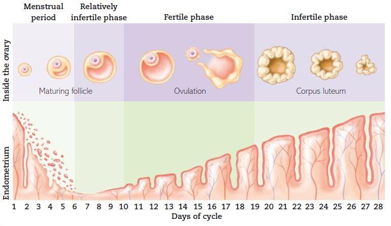 روز 2 بارداری