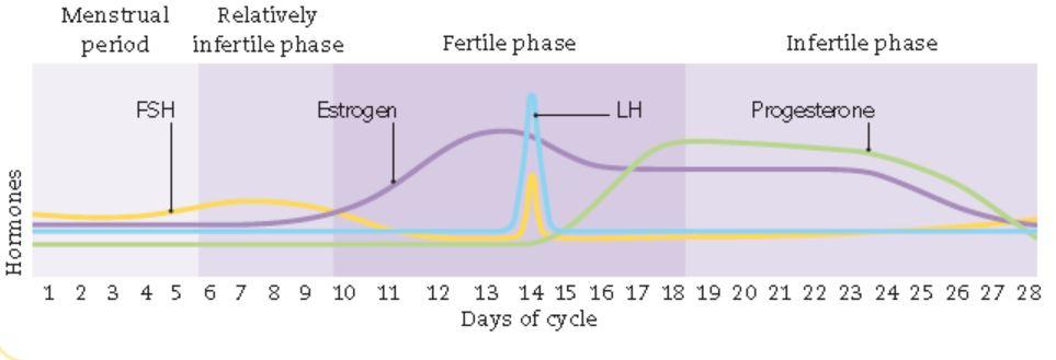 روز 4 بارداری