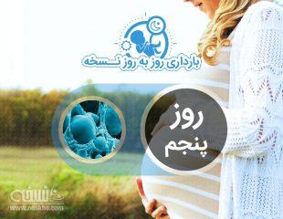 روز پنجم بارداری