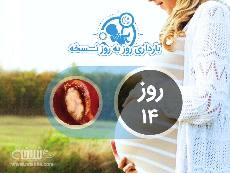 روز چهاردهم بارداری