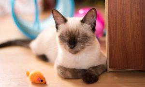 آلرژی گربه