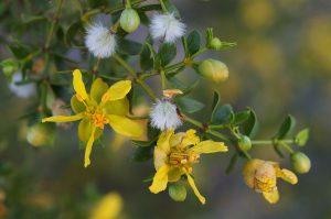 بلوط درختچه ای و همیشه بهار